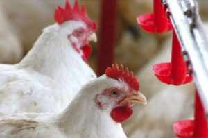 Setor de avicultura é prejudicado no Tocantins com medida de estatal do Pará (foto: Divulgação)