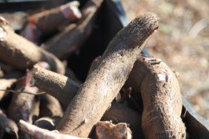 A pesquisa com mandioca prevê diferentes colheitas em épocas distintas