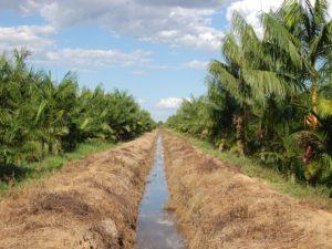 Plantação de açaí fica em Lagoa da Confusão