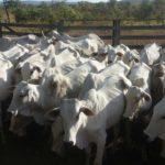 Polícia Civil desarticula quadrilha acusada de furto de gado no sul do Estado