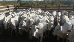 Animais localizados pela PM durante furto de gado em Almas