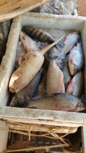 Peixes e animal silvestre apreendidos pela PM em Miracema