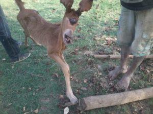 Animal com deformação